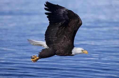 Bald Eagle (Haliaeetus leucocephalus) adult fishing in Alaska.