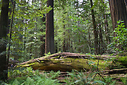 A large fallen log sits in the center of a forest of gigantic trees.