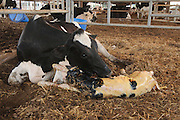 Cow (Bos taurus) licking her newborn calf. Female mammals instinctively lick their newborn babies. They do this to clean them but also to stimulate them to start breathing for themselves. in a dairy farm shed. Photographed in Israel, Kibbutz Maagan Michael