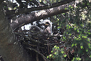 A bald eagle chick (Haliaeetus leucocephalus), estimated to be about 10 days old, flaps one of its wings in its nest in Heritage Park, Kirkland, Washington. Eaglets are hatched with a coat of light-colored natal down, which has little insulating ability. After 10 days, the natal down begins to be replaced by thermal down. That transition is beginning to take place with this chick. Its wings and chest are covered with thermal down; its head and back are still covered with natal down. The change is typically complete by age 15 days, when the eaglets are able to regulate their body temperature on their own.