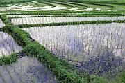 Rice fields in Canggu.