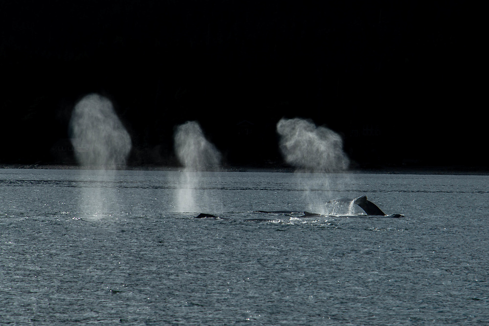 The entrance to Funter Bay, Southeast Alaska group of whales feeding.