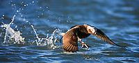 Long-tailed Duck, Clangula hyemalis, Spitsbergen, Svalbard
