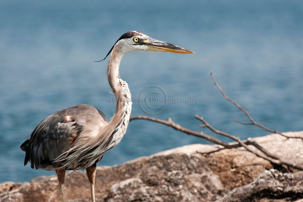 The Great Blue Heron is a large wading bird in the heron family common near the shores of open water (Quebec, Canada)