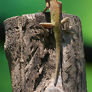 The Oriental Garden Lizard, Eastern Garden Lizard or Changeable Lizard (Calotes versicolor) is an agamid lizard found widely distributed in Asia<br /> <br /> This image may be licensed exclusively from Getty Images.