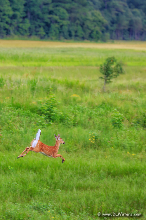 Young white tail deer running across the meadow at Alligator River Wildlife Refuge.