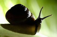 Deutschland, DEU, 2002: eine Hain-Baenderschnecke (Capaea nemoralis) auf einem Salat. Der aufgerichtete Koerper zeigt, dass sie versucht sich zu orientieren. | Germany, DEU, 2002: Garden snail (Capaea nemoralis) on salad, erected body posture shows orientation behaviour. |