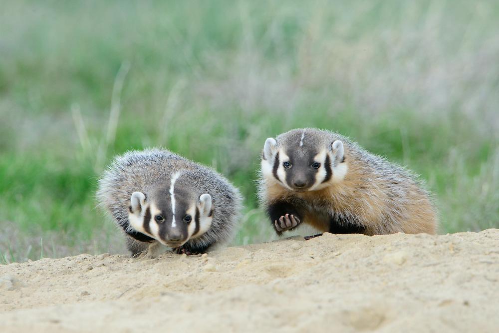 American badger kits at play, Ravalli County, Montana