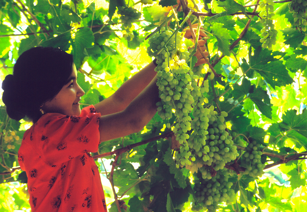 A girl picks grapes in Turfan, her red dress in contrast with the sunlit shades of green, Xinjiang, China.