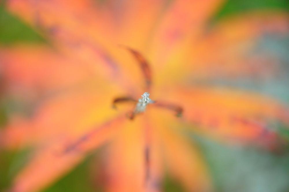 Fireweed, Epilobium angustifolium in Kuhmo, Finland.