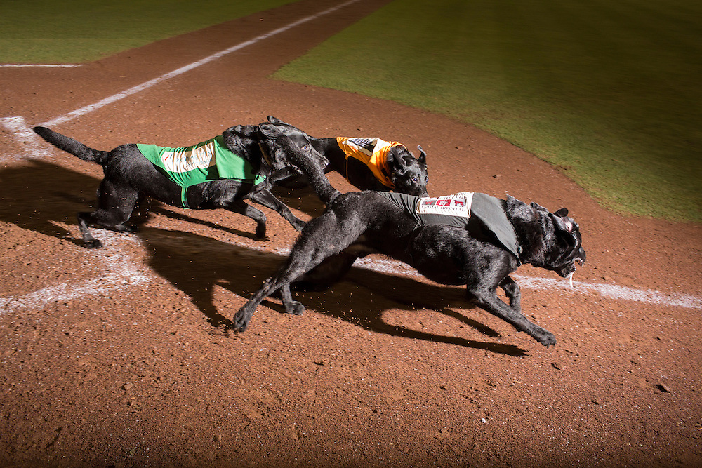 All three bat dogs for the Greensboro Grasshoppers run the bases following a game against the Hickory Crawdads at NewBridge Bank Park, Greensboro, North Carolina, Monday, June 21, 2014.