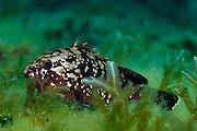 Brown Grouper (Epinephelus marginatus) | Brauner Zackenbarsch