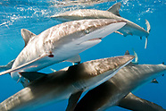 Requiem Sharks