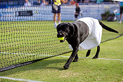 LIVERPOOL, ENGLAND - Saturday, June 23, 2018: Maggie the Labrador acts as honorary ballgirl during day three of the Williams BMW Liverpool International Tennis Tournament 2018 at Aigburth Cricket Club. (Pic by Paul Greenwood/Propaganda)