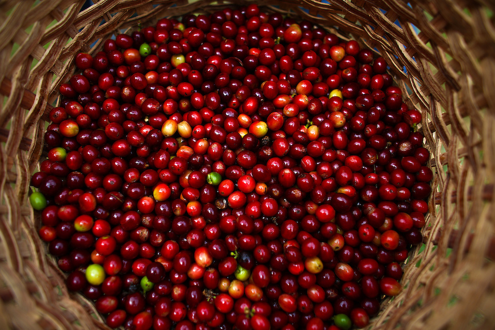 Freshly picked coffee cherries are shown during the 2016 Starbucks Origin Experience for Partners. Photographed in January 2016. (Joshua Trujillo, Starbucks)