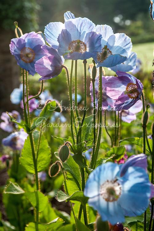 Meconopsis betonicifolia cv (Himalayan blue poppy)
