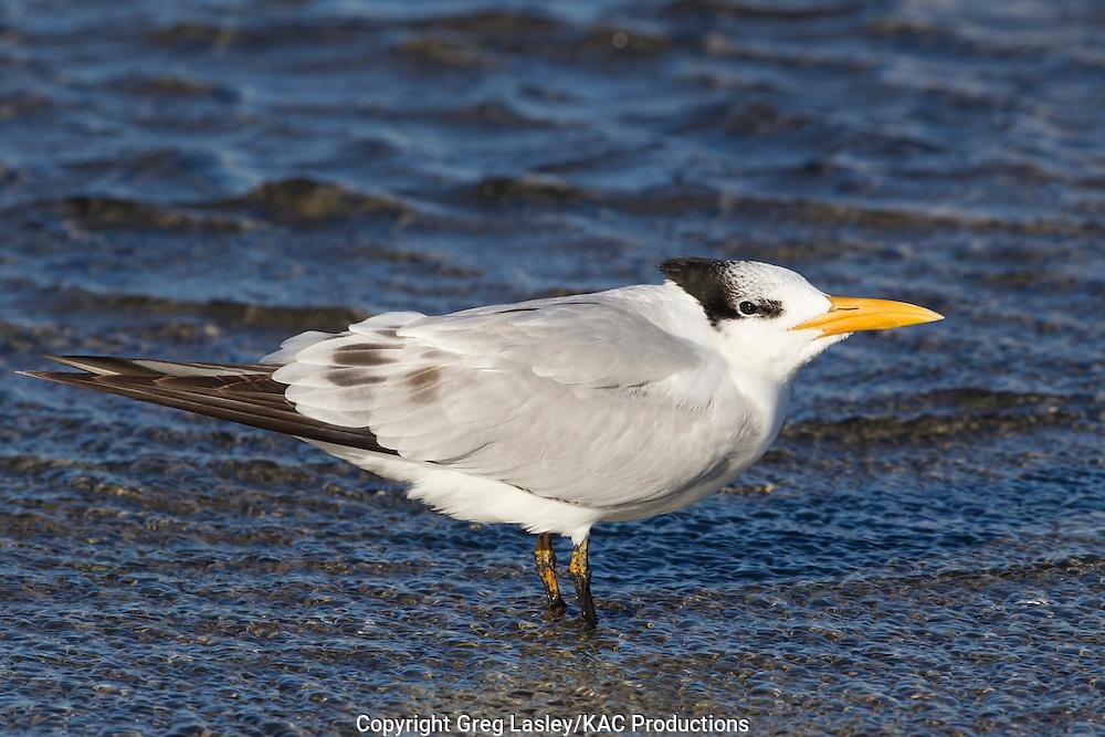 Royal Tern<br /> Sterna maxima<br /> basic (winter) plumage<br /> South Padre Island,<br /> Cameron Co., Texas<br /> 12 December 2010