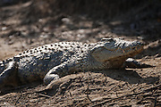 Crocodile on river bank, St Lucia Wetlands, South Africa.