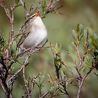 Phylloscopus borealis, Nome Alaska