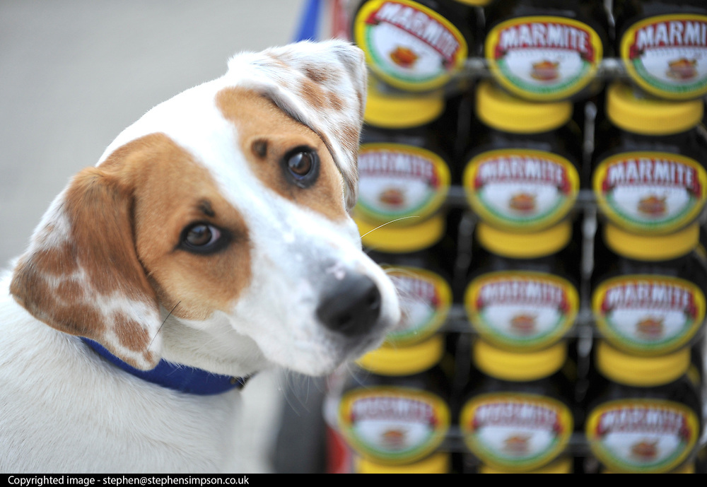 """© under license to London News Pictures. LONDON, UK  06/05/2011. Dogs Enjoying Marmite at Battersea Dogs and Cats Home today (06 May 2011). 100 Jars were delivered to the home as part of a prize. You either love it or hate it, but at Battersea, marmite is causing quite a stir amongst the dogs. Jars of the yeast extract, which has polarised the nation into lovers and haters, are polished off in no time by Battersea's canine residents who have developed quite a taste for the spread. Today 100 of the famous yellow topped glass jars will cause tails to wag in the kennels when they are delivered to the Home. The year's supply of Marmite is a rather unusual, but very welcome prize to Battersea Chief Executive Claire Horton who will be presented with one of the first ever Dogs Today Endal Awards for Services to Animals. Claire Horton who requested the prize for the dogs, in favour of the usual dog food awarded,  commented: """"Battersea dogs definitely 'love it' when it comes to Marmite. We like to provide our dogs with lots of different activities throughout the week to try and help them cope better in a kennel environment. One of the dogs' favourites is licking Marmite from chew toys - it keeps them entertained for hours."""" Claire will be presented with her Endal Award by Marmite Brand Manager David Titman at the 2011 London Pet Show, taking place at Kensington Olympia, tomorrow, Saturday 7th May.Photo credit should read Stephen Simpson/LNP."""