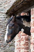 Skewbald paint horse taking a nap while dozing in stable in Exmoor National Park, Somerset, United Kingdom