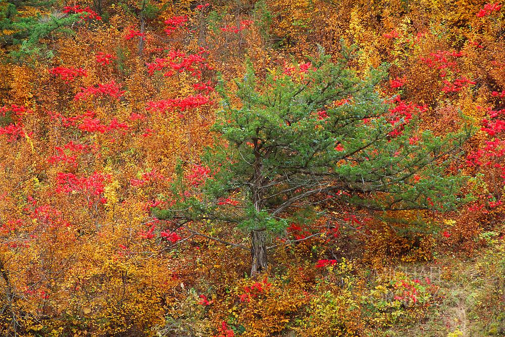 Red Sumac and trees in the Niobrara River Valley, Nebraska.