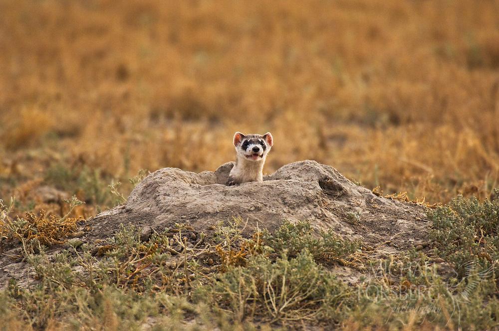 A ferret emerges from a prairie dog burrow after an attack on a prairie dog.  Buffalo Gap National Grassland, South Dakota