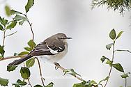 01395-02812 Northern Mockingbird (Mimus polyglottos) in American Holly tree (Ilex opaca)  in winter, Marion Co., IL