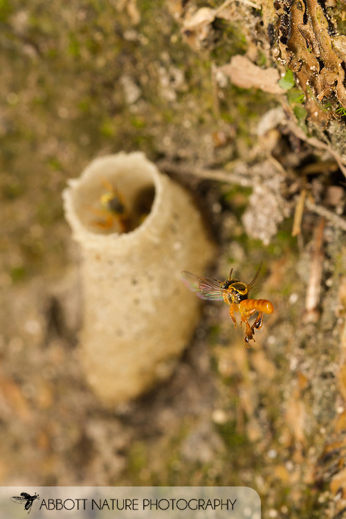 Stingless Bee (Tetragonisca angustula) flying to nest entrance made of wax<br /> BELIZE: Cayo District<br /> Xunantunich Mayan Ruins<br /> 12-Sep-2014<br /> J.C. Abbott &amp; K.K. Abbott