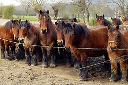 Brabander trekpaard<br /> © Dirk Caremans