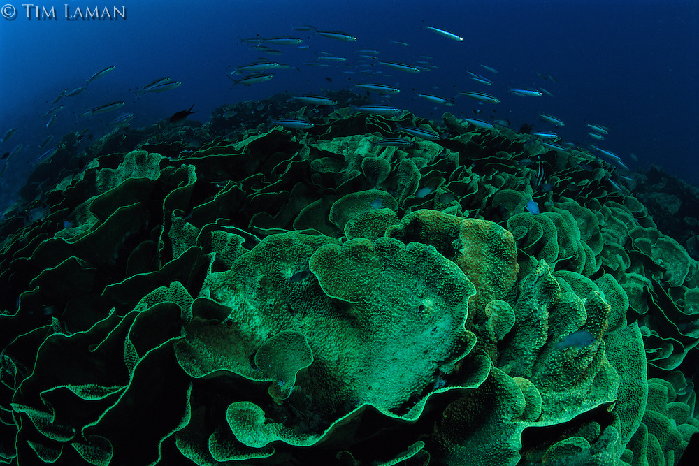A school of fish swim over a reef of cabbage coral.
