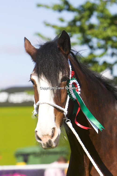 J W &amp; M McIntyre's WEBERS SADIE JAKEY VICTORIA<br /> WINNER  Filly or Mare 3 years old and upwards<br /> CHAMPION CLYDESDALE<br /> SUPREME OVERALL HEAVY HORSE CHAMPION