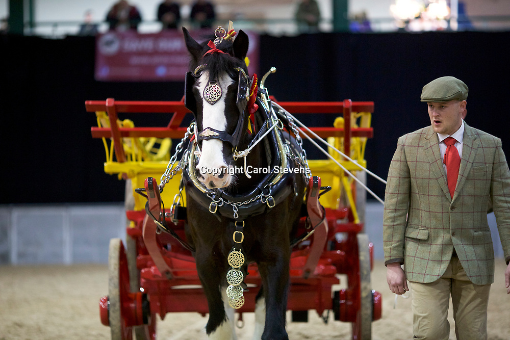 Mr K Manders with LLANGWM HILL MONTY<br /> Winner of the Single Agricultural Turnout  (No.49)