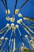 MT00128-00...MONTANA - Beargrass (Xerophyllum tenax) along the Swiftcurrent Pass Trail in Glacier National Park.