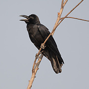The large-billed crow (Corvus macrorhynchos), formerly widely referred to as the jungle crow, is a widespread Asian species of crow. It is very adaptable and is able to survive on a wide range of food sources, making it capable of colonizing new areas.