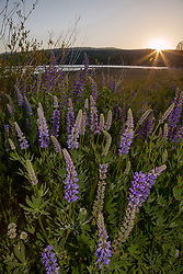 """Lupine Sunset 4"" -This sunset and lupine flowers were photographed at Lake Forest Beach Park at Lake Tahoe, just outside of Tahoe City, CA."