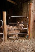 Pablo the Donkey at Leaping Lamb Farm.