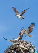 A second pair of ospreys challenged the resident pair at the Sesuit Harbor stand.