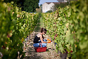 Wine harvest, vendange, Cabernet Franc grapes by hand at Chateau Lafleur at Pomerol in the Bordeaux region of France