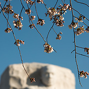 Cherry blossoms hang in front of the statue of MLK at the Martin Luther King Jr Memorial on the banks of the Tidal Basin in Washington DC.