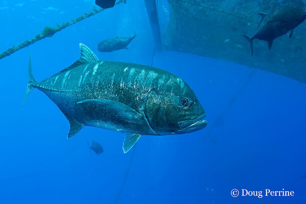 ulua, giant trevally, or yellowfin jack, Caranx ignobilis, swims by fish pen at Kona Blue Water Farms open ocean aquaculture pens, Keahole, Kona Coast, Hawaii Island ( the Big Island ) Hawaii, U.S.A. ( Central Pacific Ocean )