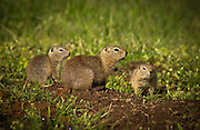 "A family of belding ground squirrels (mother center, pups either side) stay close to their burrow on the native bunchgrass prairie habitat that is found on The Nature Conservancy's Zumwalt Prairie Preserve. The pups first emerged from their burrow the previous week.  Called locally ""red diggers"", they provide a food source for one of tha largest concentrations of breeding raptors in North America."