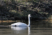 Trumpeter Swan, Swan, Canada Goose, Goose, Yellowstone, Yellowstone National Park, Wyoming