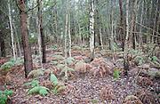 Silver birch trees bracken undergrowth autumn woodland Sutton Heath, Suffolk, England
