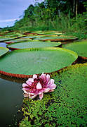 Victoria Water Lily flower & pads - Amazonia, Peru.