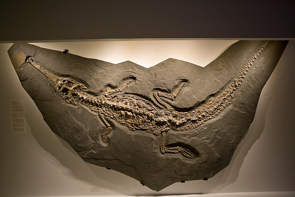 Stock photo of a Steneosaur fossilized in rock at the new Paleontology Hall at the Houston Museum of Natural Science