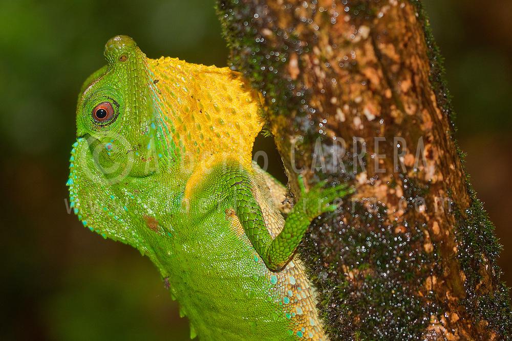Alberto Carrera, Hump-nosed Lizard, Lyriocephalus scutatus, Sinharaja National Park Rain Forest, Sinharaja Forest Reserve, World Heritage Site, UNESCO, Biosphere Reserve, National Wilderness Area, Sri Lanka, Asia