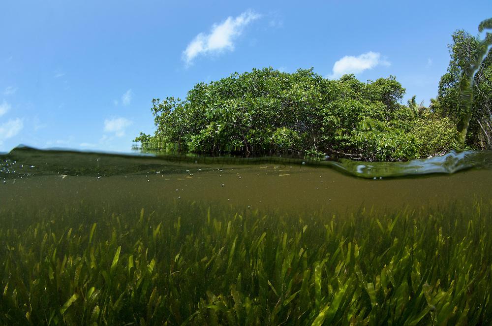 Red Mangrove (Rhizophora mangle) & Turtle grass (Thallasia testinudum)<br /> Lighthouse Reef Atoll<br /> BELIZE, Central America