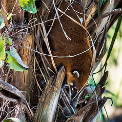 """Quati-de-cauda-anelada (Nasua nasua) fotografado em Corumbá, Mato Grosso do Sul. Bioma Pantanal. Registro feito em 2017.<br /> <br /> ENGLISH: South American coati, or ring-tailed coati photographed in Corumbá, Mato Grosso do Sul. Pantanal Biome. Picture made in 2017."""