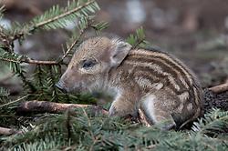 Pas geboren big van wild zwijn; Just born Wild Boar pig